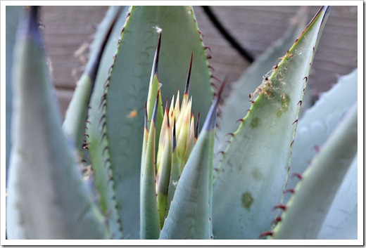 130503_Agave-parryi-with-flower-spike_04
