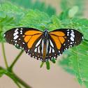 Black-veined Tiger