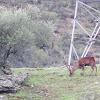 Red Deer, Ciervo común
