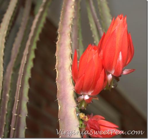 Epiphyllum3