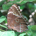 Blue Morpho (sp)