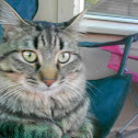 House Cat - Miko