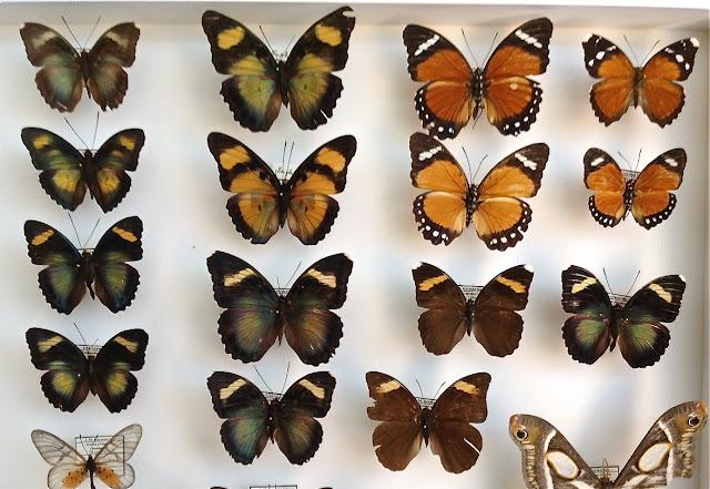 Quelques Euphaedra d'Ebogo (Cameroun). Coll. & photo : J.-M. Gayman