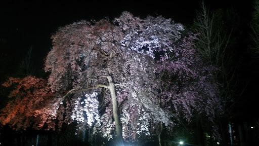 [写真]等々力緑地の夜桜