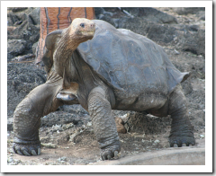 RIP Lonesome George. Photograph © Mark Summerfield 2007