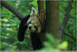 roter Panda (Firefox)