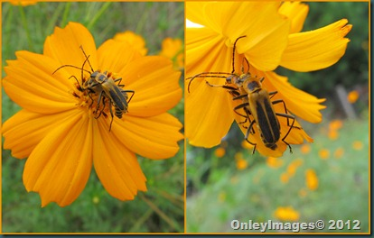 0924 soldier beetles