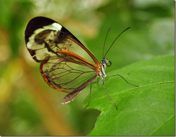 Greta oto un papillon transparent (4)