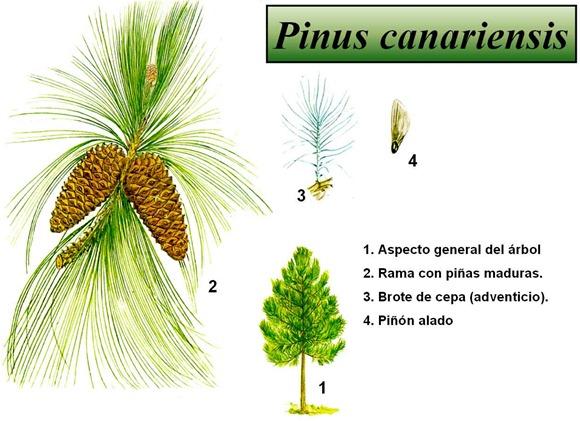 Grafico Pinus Canariensis