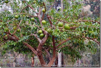 7248 Cruz Grande-La Filipina (Crescentia cujete-árbol de la calabaza)