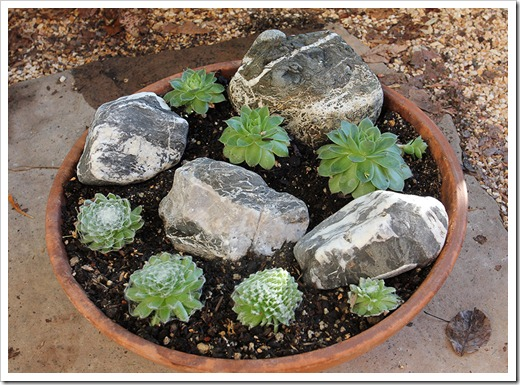 110828_new-sempervivum-bowl_04