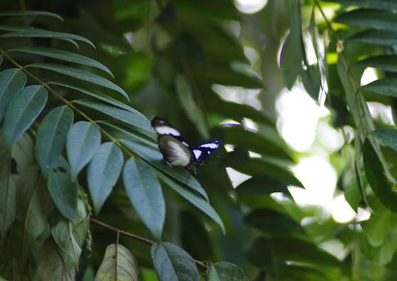 Amauris niavius LINNAEUS, 1758. Ebogo (Cameroun), 8 avril 2012. Photo : J.-M. Gayman