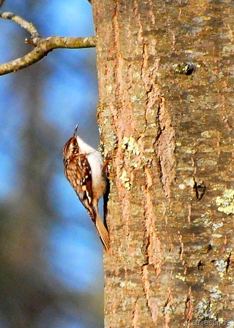24. brown creeper-kab