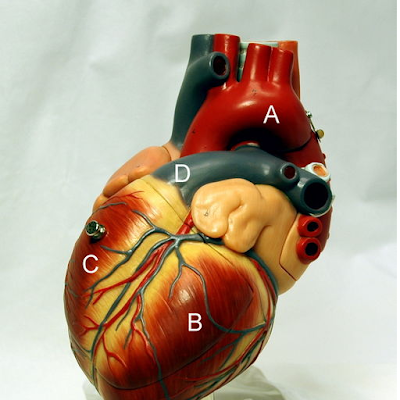Human Anatomy - Heart