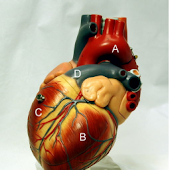 Human Anatomy - Heart