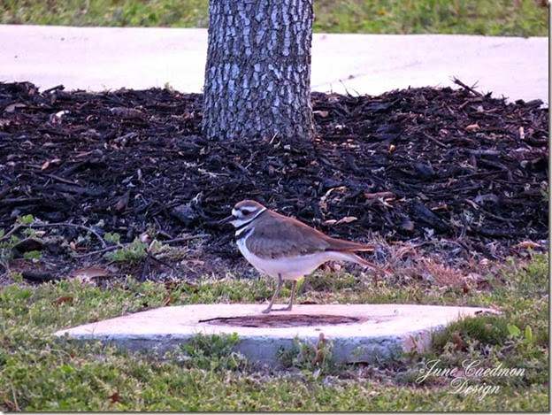 Killdeer_Parkinglot