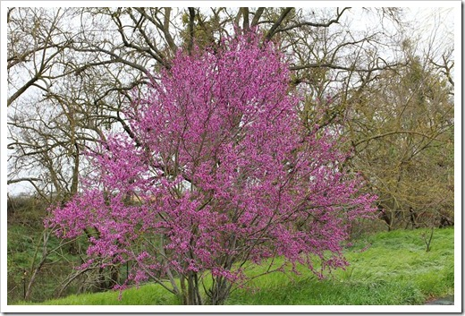 120313_Cercis-occidentalis_41