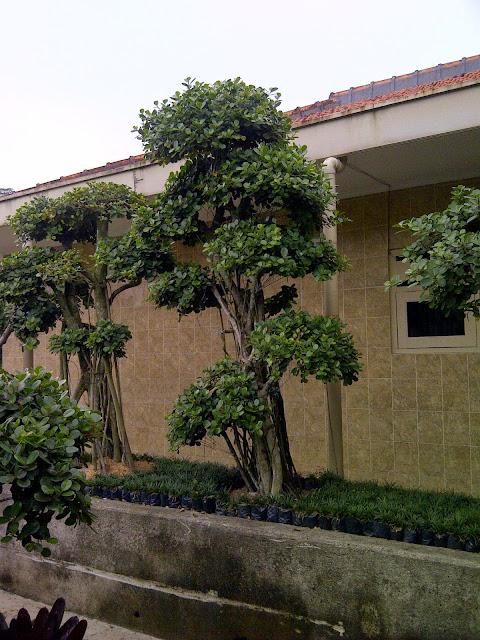 Tukang taman jual tanaman beringin korea, beringin dollar harga paling murah, gambar bonsai beringin