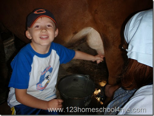 Milking a cow on farm fieldtrip
