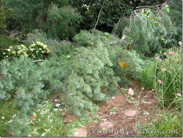 Pine on Big Flowerbed2