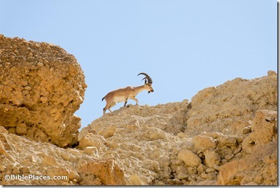 Ibex at En Gedi, tb052307902