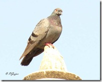002 Rock Common Pigeon ( Samanya Kabootar )