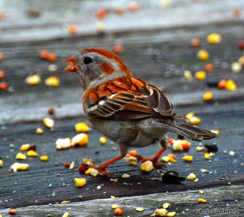 10. Field sparrow-kab