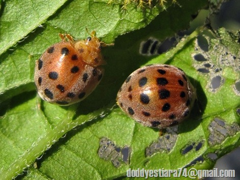 28-spotted potato ladybird