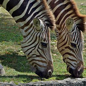 Cebras Gemelas by Lidia Noemi - Animals Other ( negro, zoo, cebras, blanco, rayas,  )