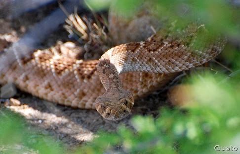 rattlesnake in wash 5-11-2008 by gusto
