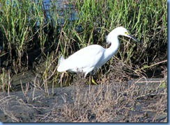 6083 Texas, South Padre Island - Birding and Nature Center - Snowy Egret