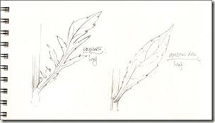 goldenrod v ragwort leaf bg