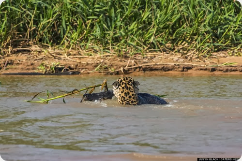 jaguar vs caiman9