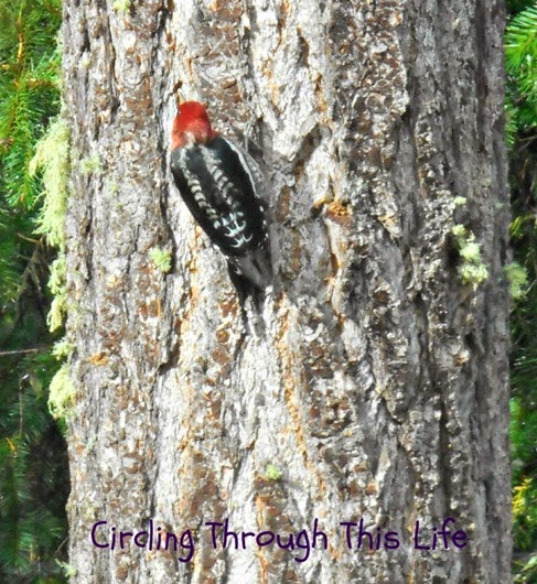 Woodpecker visiting our backyard ~ 5 Random Thoughts October 24th