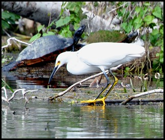 08 - Animals - Snowy Egret 1