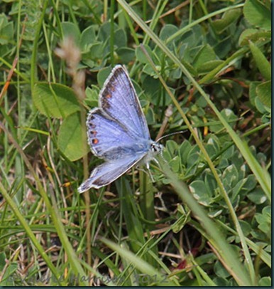 19-common-blue