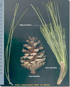 Es muy fcil identificarlo porque es el nico pino hispnico con tres acculas por cada braquiblasto, es decir, tiene tres hojitas finas y alargadas