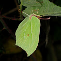 Common Brimstone, Limonera