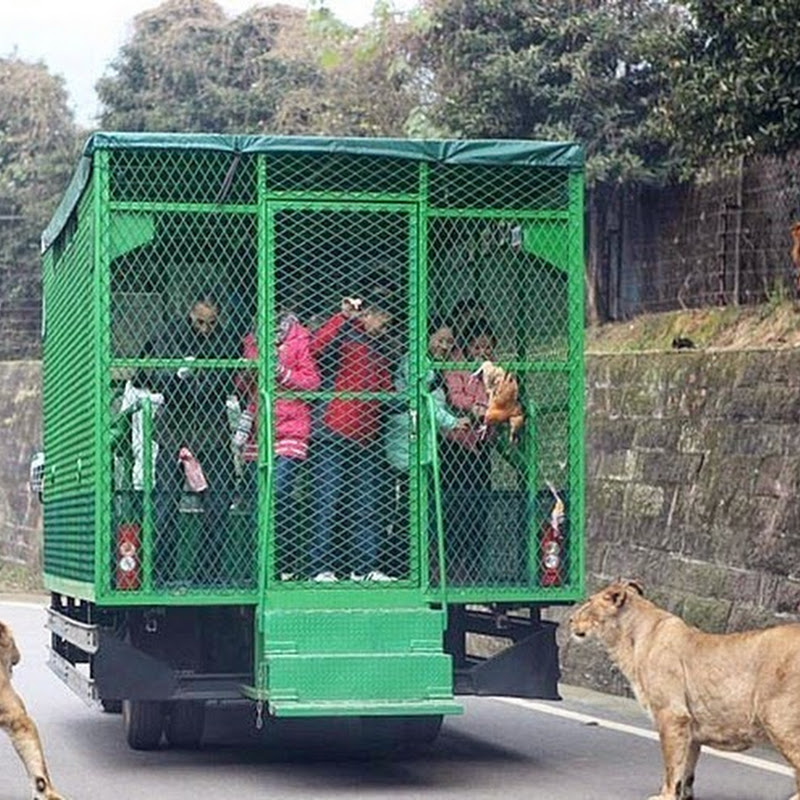 Chinese Zoo Locks Visitors in Cages, Lets Animals Roam Free