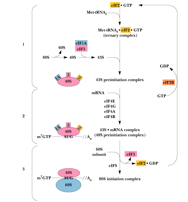 Initiation of Protein synthesis in Eukayotes