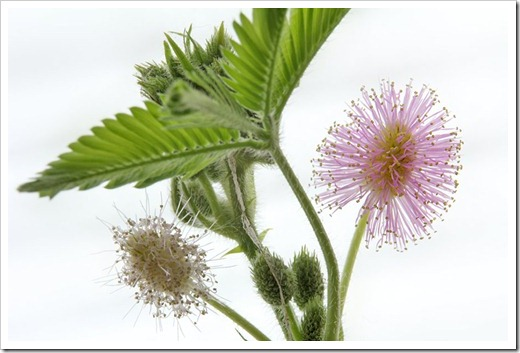 110929_Mimosa-pudica_12