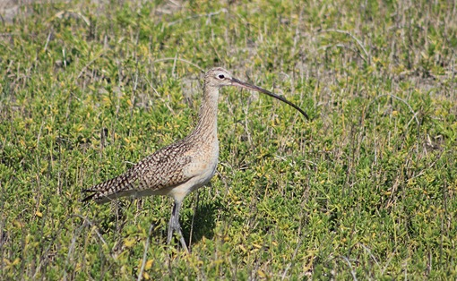 South Padre Long Billed Curlew2