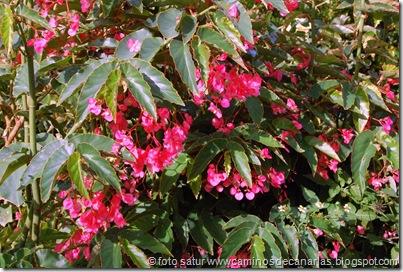 0096 El Risco-La Aldea(Begonia)