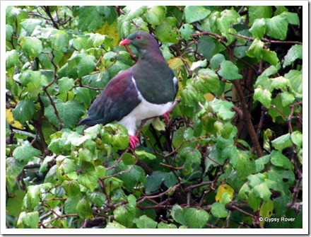 Kereru or Native Pidgeon feeding in a bush outside the motorhome.