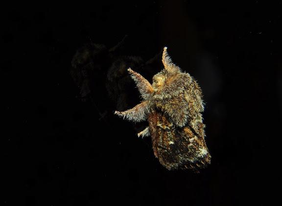 Lasiocampidae : Pernattia pusilla DONOVAN, 1805. Umina Beach (New South Wales, Australie), 24 mars 2011. Photo : Barbara Kedzierski