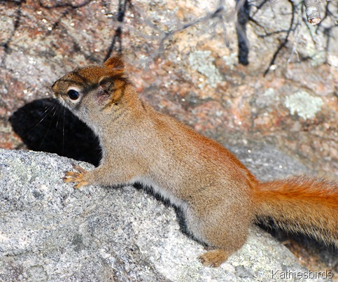 7. red squirrel-kab