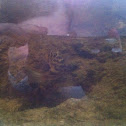 Checkered Pufferfish.