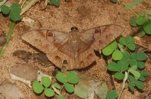 Noctuidae : Catocalinae : Cyligramma duplex GUÉNÉE, 1852 (endémique). Réserve d'Ankarafantsika (50 km à l'est de Majunga), 210 m d'altitude, 9 février 2011. Photo : T. Laugier