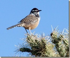 Cactus wren on cholla 10-18-2010 8-14-04 AM 1108x908