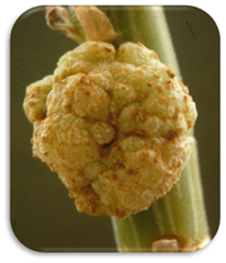 Crown gall disease caused by Agrobacterium tumefaciens